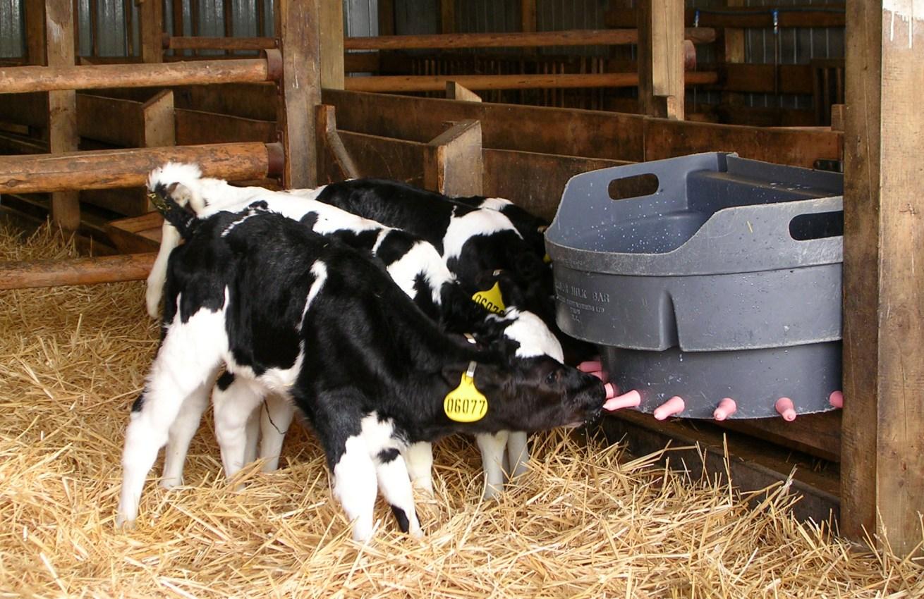 Resultado de imagen para destete precoz bovinos