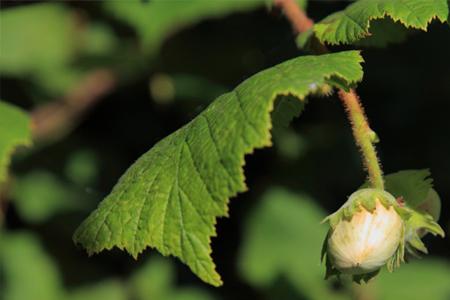Nutrición de las avellanas en su estado óptimo