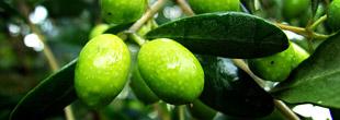 Especial Aceite de oliva