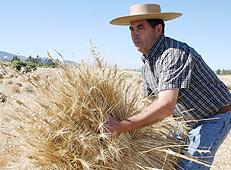 Los mayores consumidores de trigo